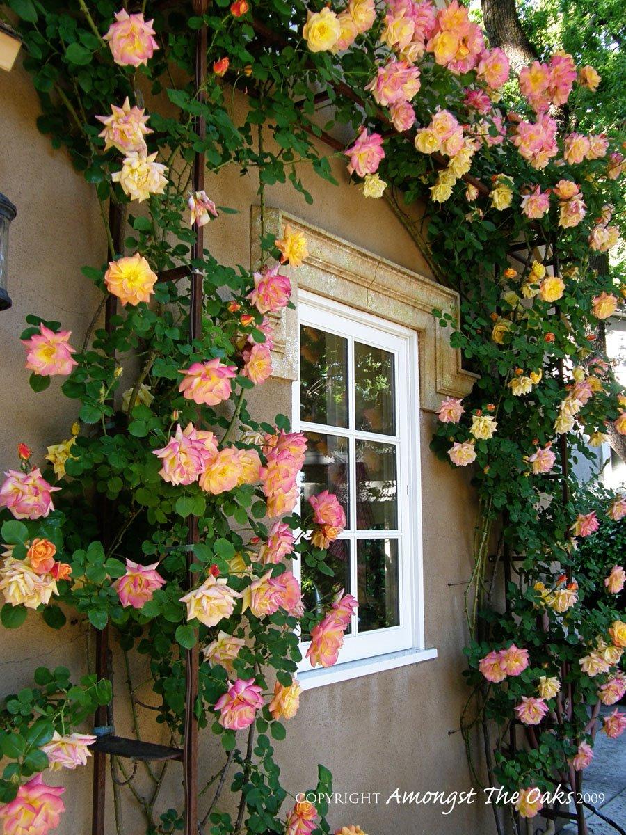 Плетистые розы в саду фото - интернет-журнал inhomes.