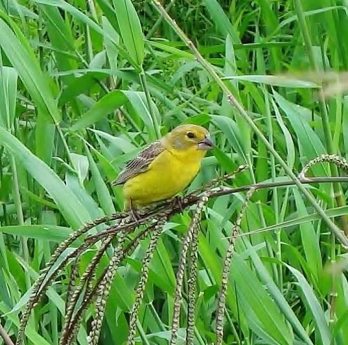 PABLO NERUDA SARI ÇAYIR İSPİNOZU Grassland_yellow-finch.
