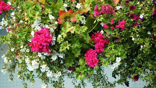 selma-ozeser-kesik-geranium-petunia-greek-garden