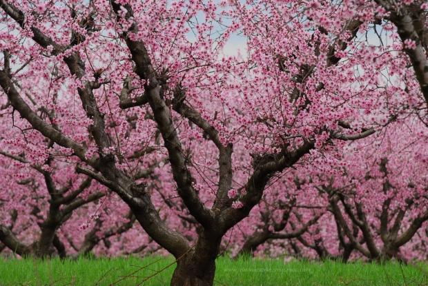AHMET ADA YAZ SEVİNCİM PEACH TREE