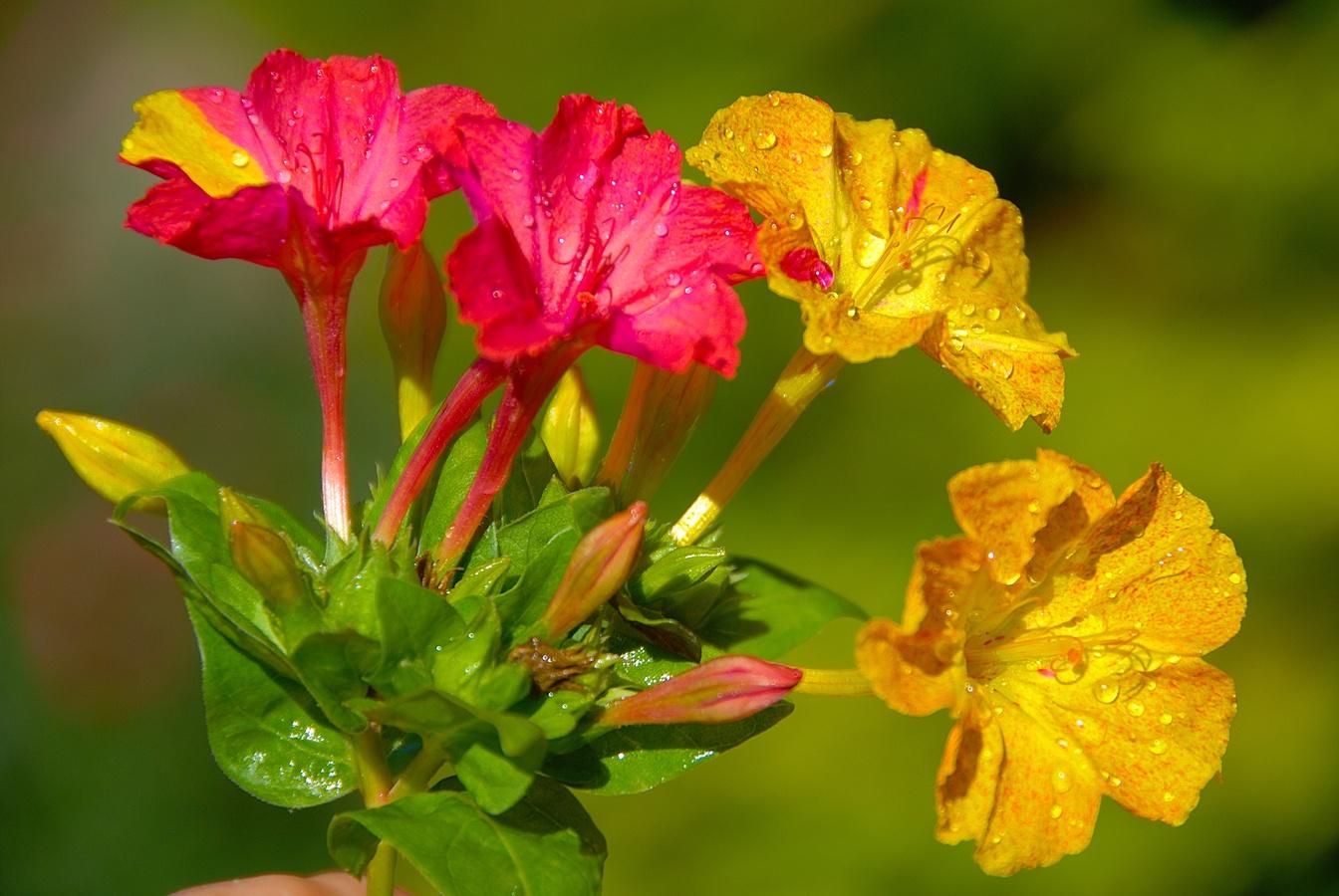Цветок ночная красавица (мирабилис посадка и уход, фото) 17